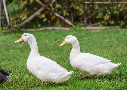 where to buy ducks
